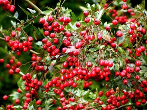 Hawthorns will bring lovely red berries in the fall