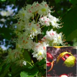 Horse chestnut flower and seeds