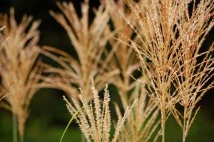 tall_grass