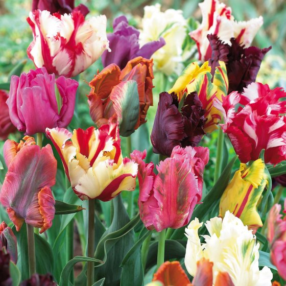 Mixed parrot tulips