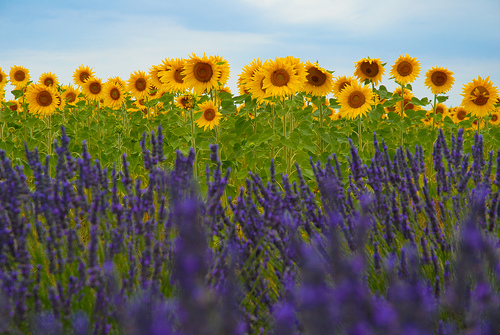 Sunflowers and lavender